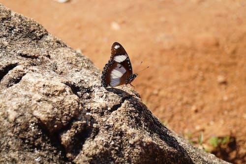 Free stock photo of butterfly, sri lanka