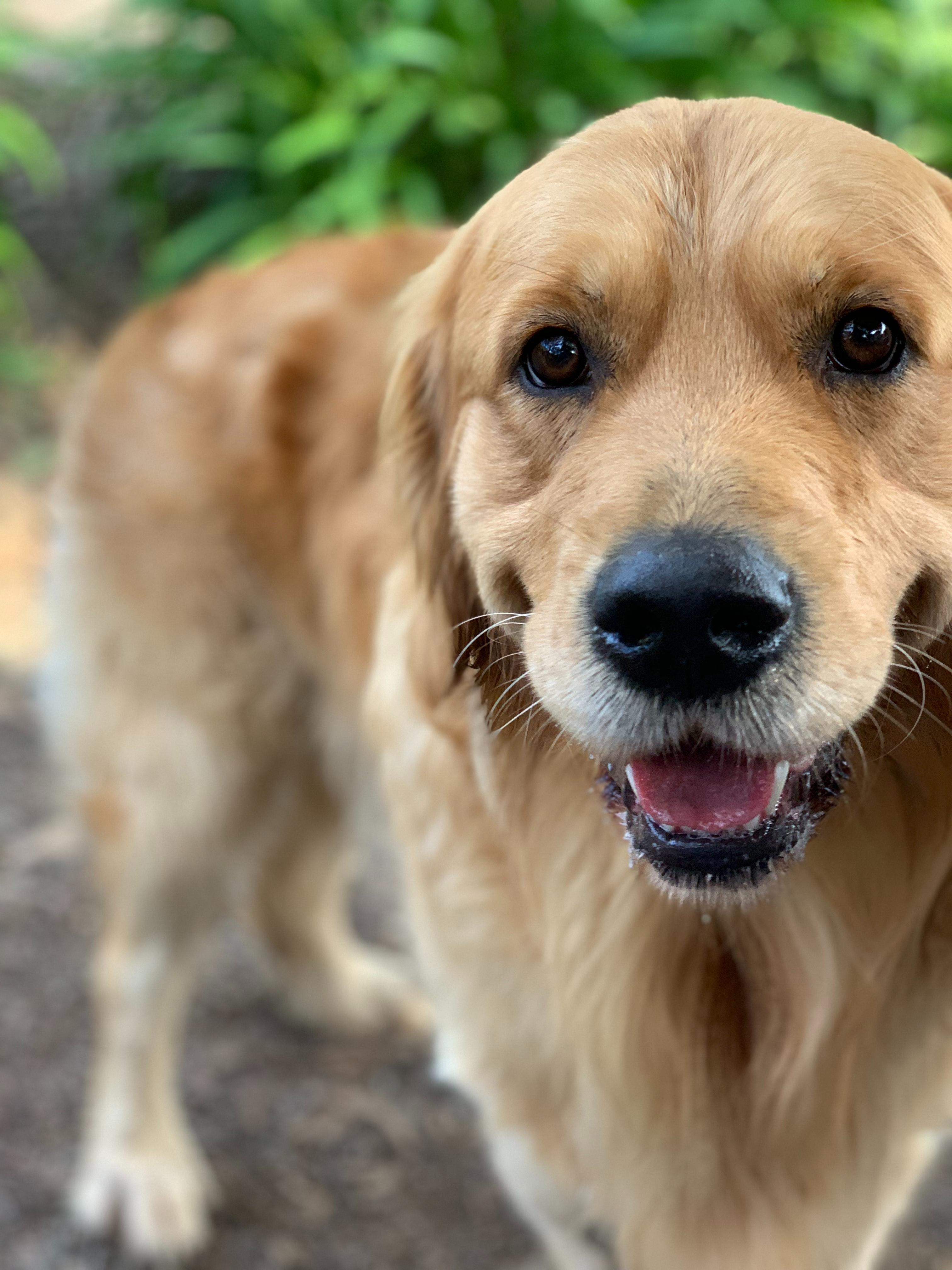 Free Stock Photo Of Dog Golden Retriever Pet Dog