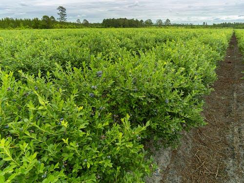 คลังภาพถ่ายฟรี ของ agbiopix, การเกษตร, ของหวาน, บลูเบอร์รี่