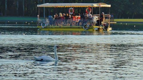 Gratis arkivbilde med båtliv, ferie, hvit svane, innsjø