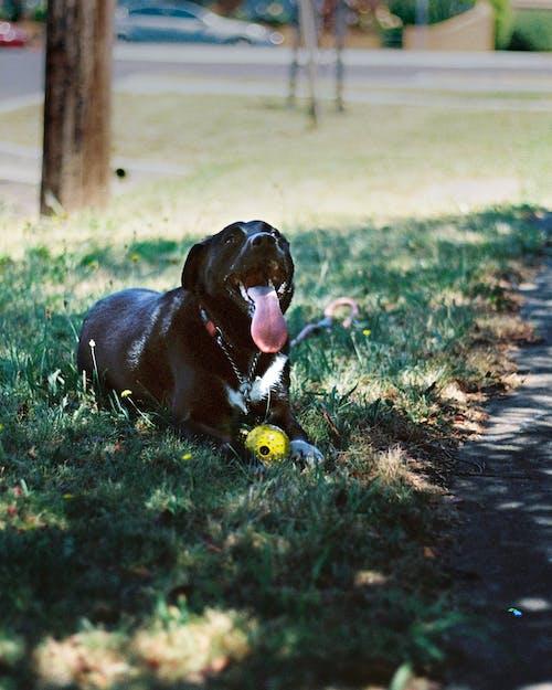 borador, staffy, 動物, 夏天 的 免费素材照片