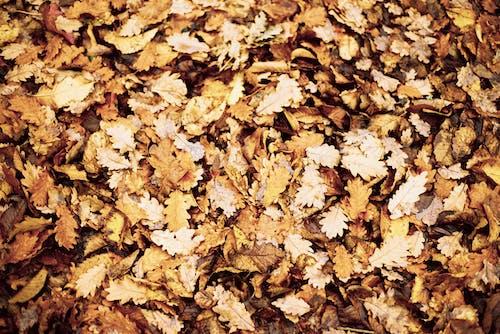 Kostnadsfri bild av brun, falla, höst, höstlöv