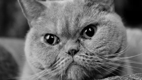 Photos gratuites de british shorthair, chat gris, voiture