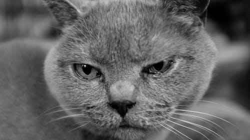 Ảnh lưu trữ miễn phí về con mèo, Mai toc ngăn của ngươi anh