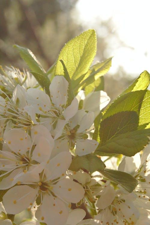 Бесплатное стоковое фото с цветение сливы, цветок сливы, цветы сливы