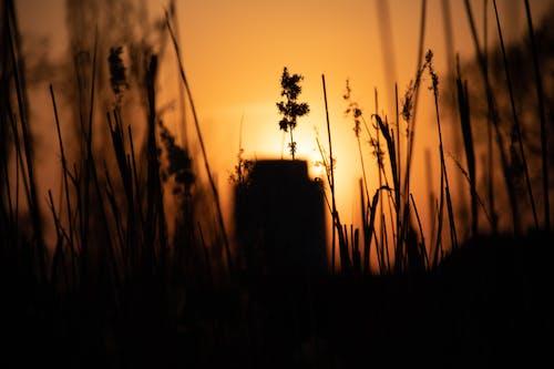 Free stock photo of Beautiful sunset, grass field, sunset, tall grass