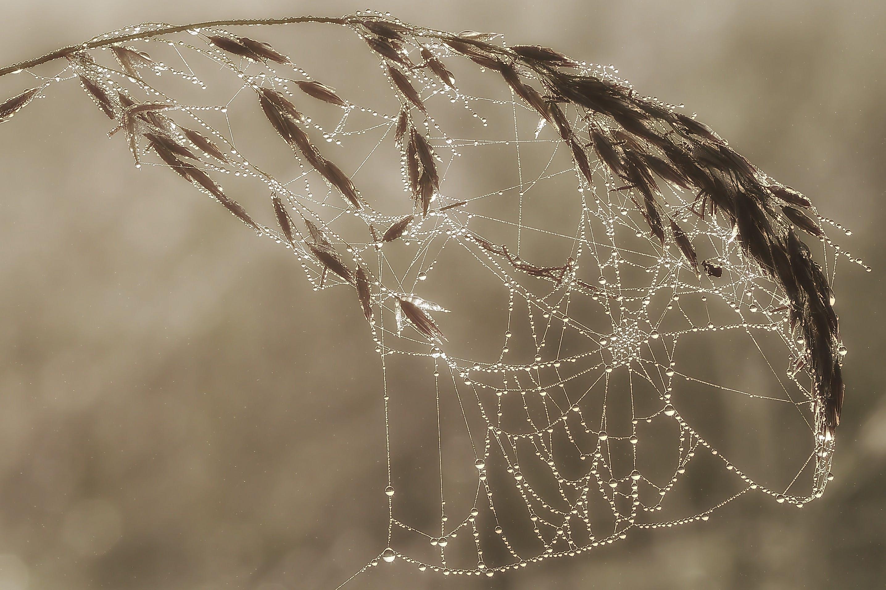 Spider Web on Wheat