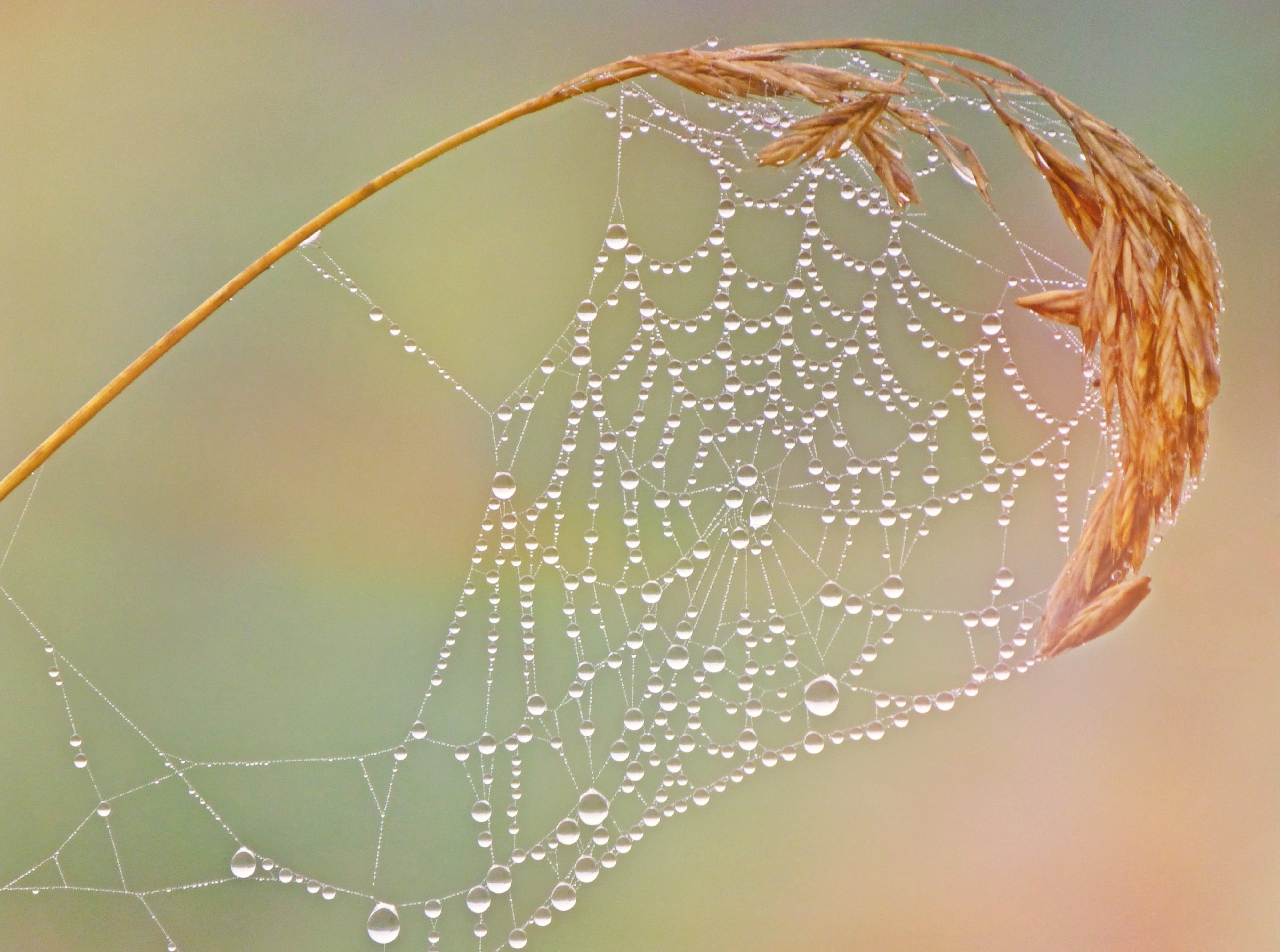 close-up, cobweb, dew