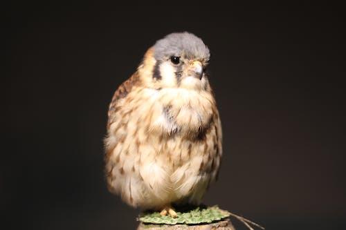 Photos gratuites de crécerelle américaine, oiseau captif