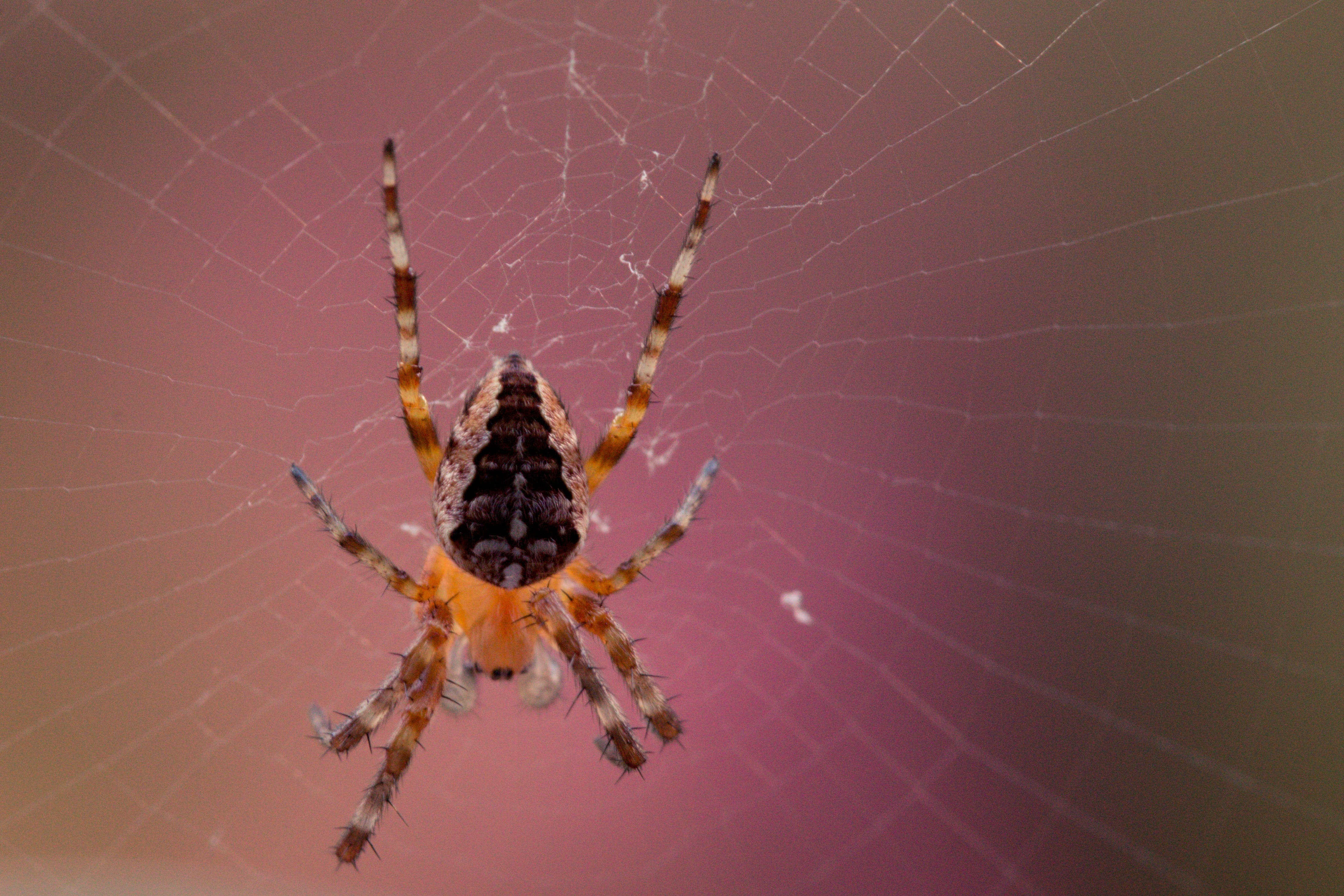 Macro Photography of Barn Spider on Spider Web
