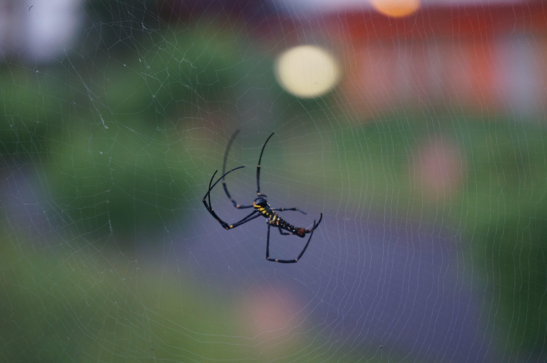 Macro Photography of Argiope Spider