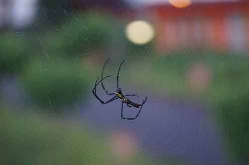 Macro Photography of Argiope Spider