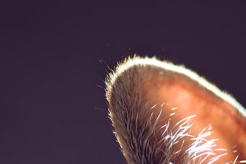 Free stock photo of cat ear, cute, domestic, ears