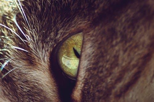 Free stock photo of animal, cat eye, cute, domestic