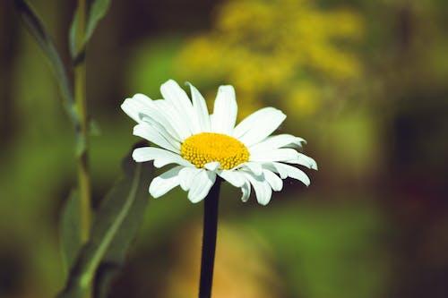 Free stock photo of bloom, daisy, macro, nature