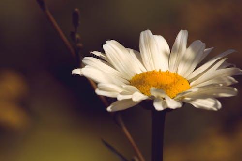 Ilmainen kuvapankkikuva tunnisteilla luonto, makro, päivänkakkara, terälehdet
