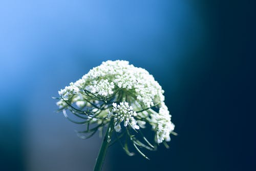 Ilmainen kuvapankkikuva tunnisteilla luonto, puutarha, terälehdet, valkoiset kukat
