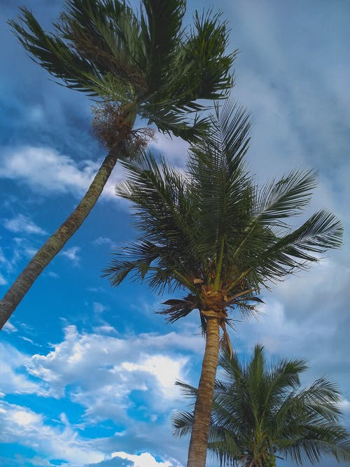 Free stock photo of blue skies, cloudy skies, coconut tree, palm