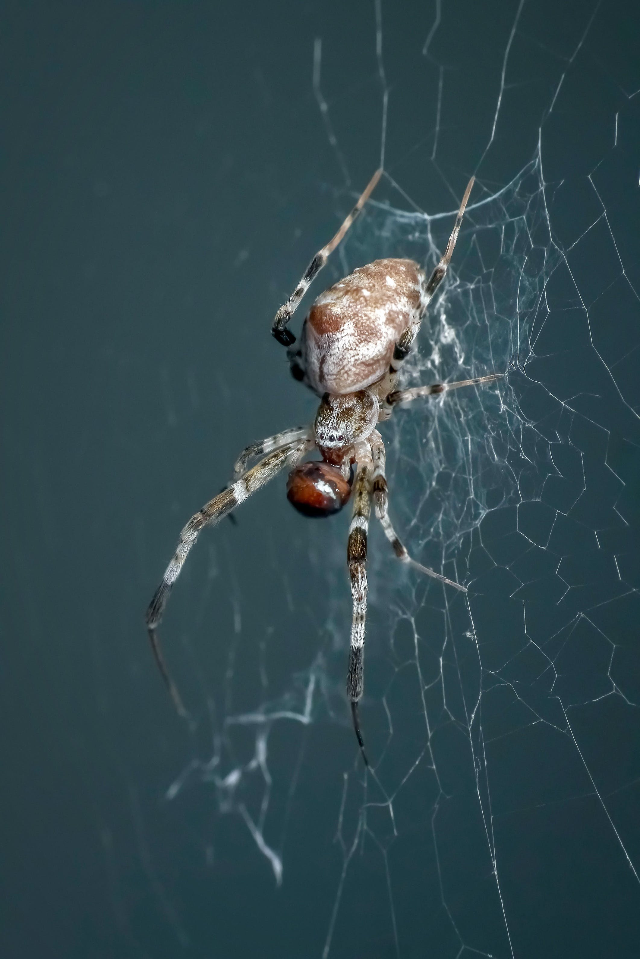 Free stock photo of animal, insect, macro, spider
