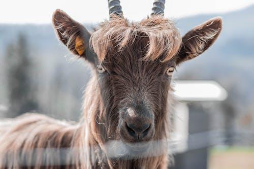 Безкоштовне стокове фото на тему «Коза, тварина»