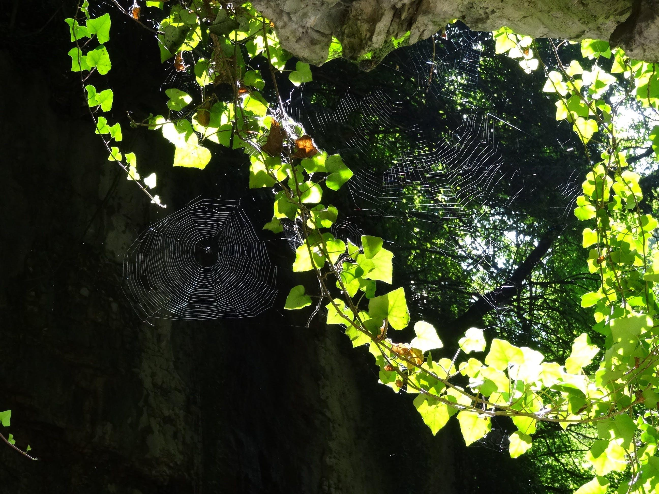 Free stock photo of nature, rock, cobweb, ivy