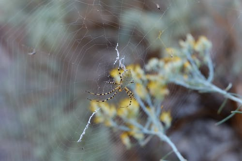 Argiope Spider on Web
