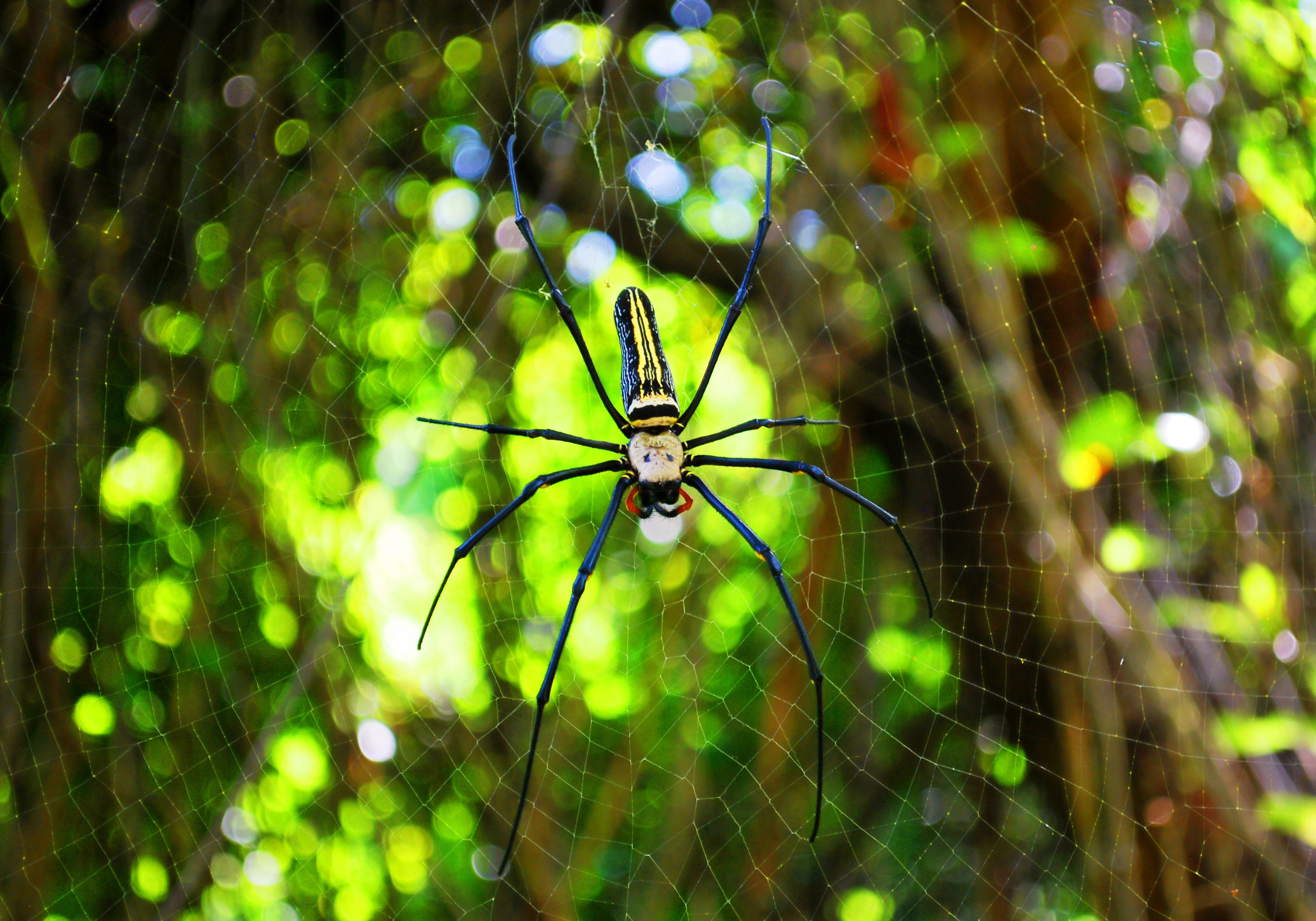 Macro Photography of Argiope Spider on Web