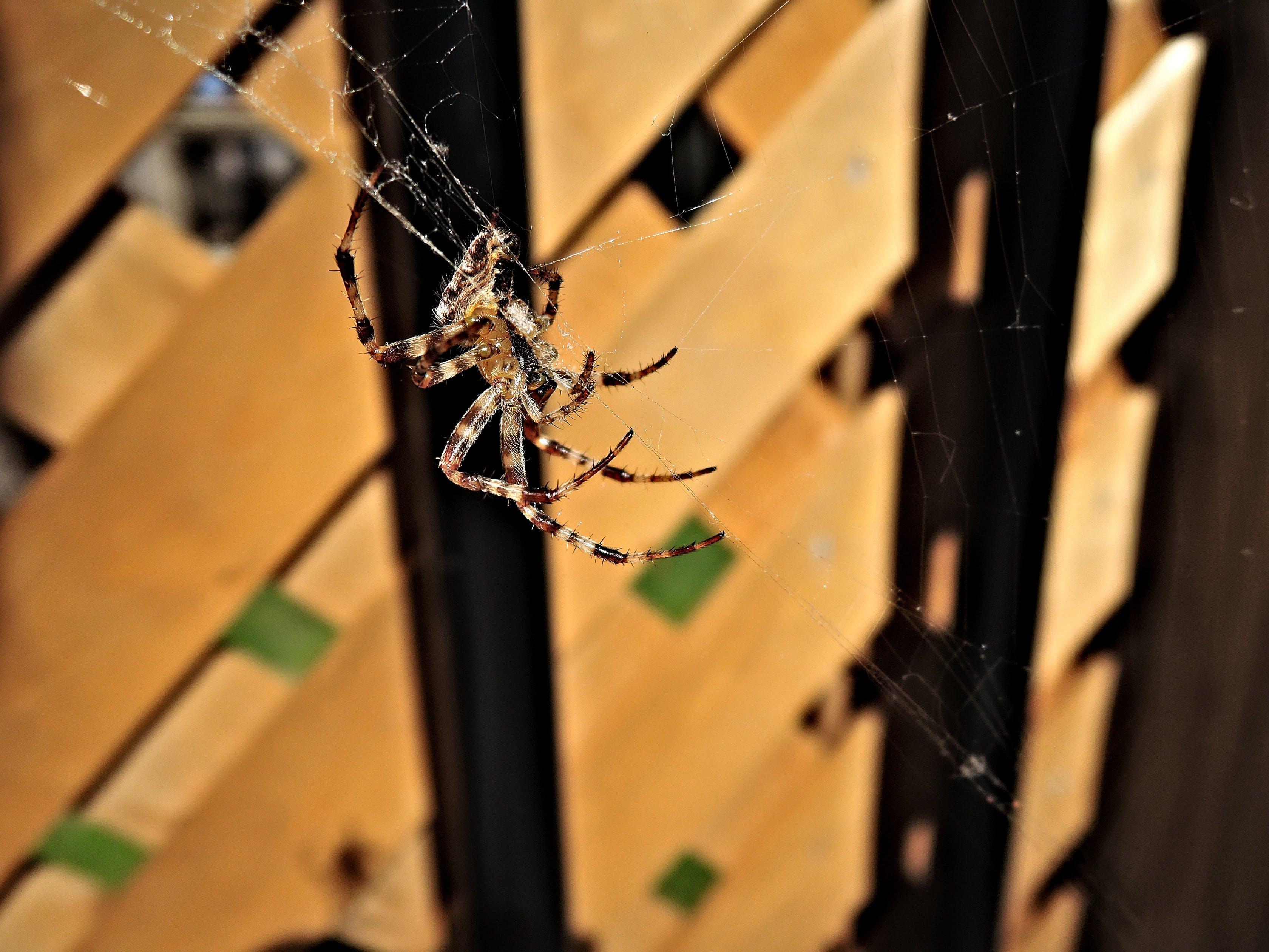 Free stock photo of animal, arachnid, cobweb, spider