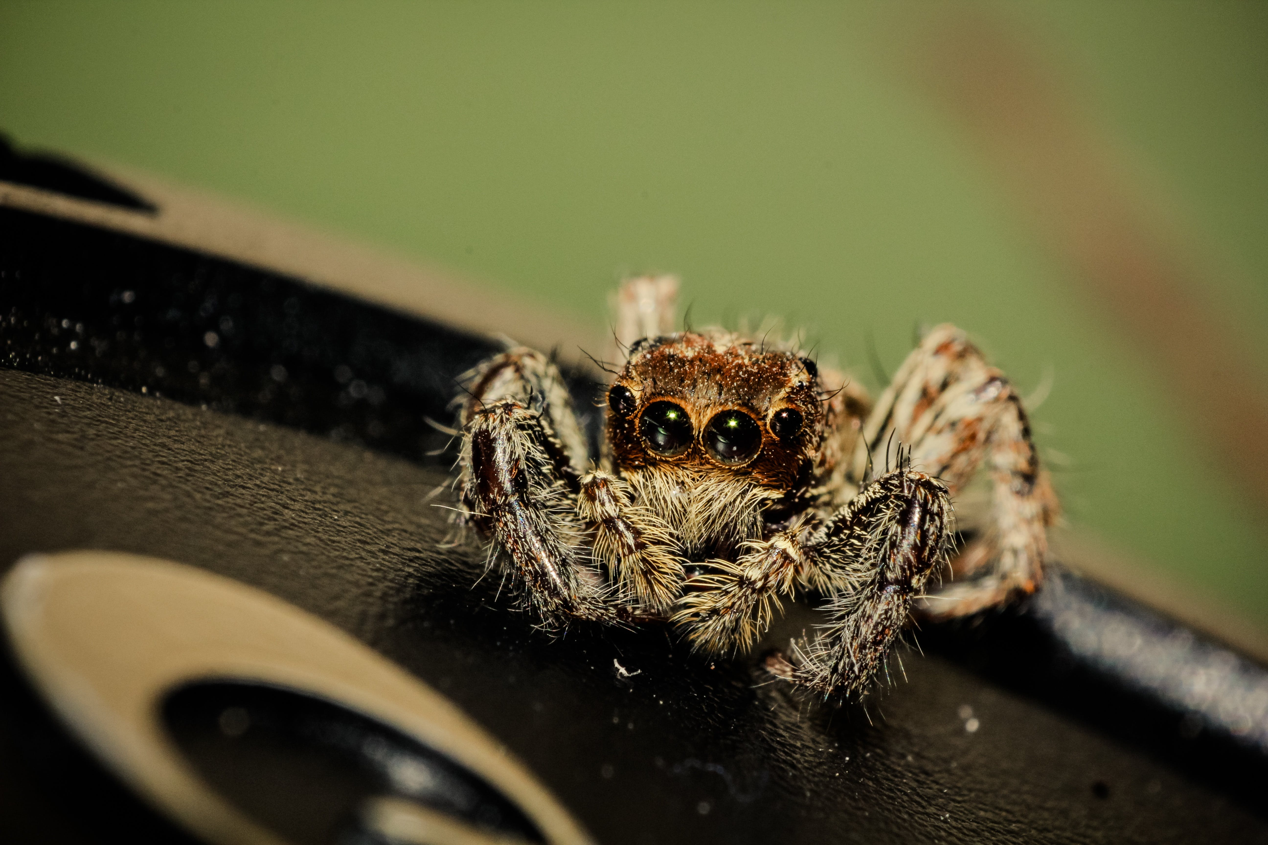 Macro Photography of Jumping Spider