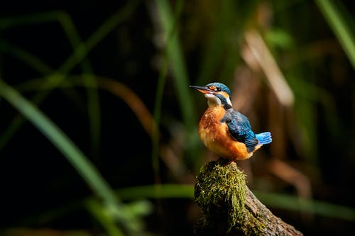 Free stock photo of birds, colorful, kingfisher, wildlife
