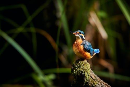 Darmowe zdjęcie z galerii z dzika przyroda, kolorowy, ptaki, zimorodek