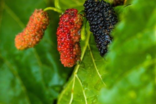 Ilmainen kuvapankkikuva tunnisteilla hedelmät, marjat, mulberry hedelmät, mulperinmarjat