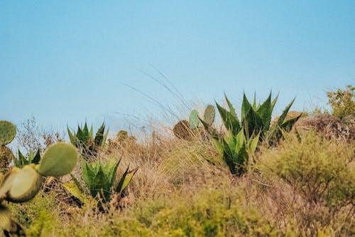 녹색, 다육식물, 맑은 하늘, 선인장의 무료 스톡 사진