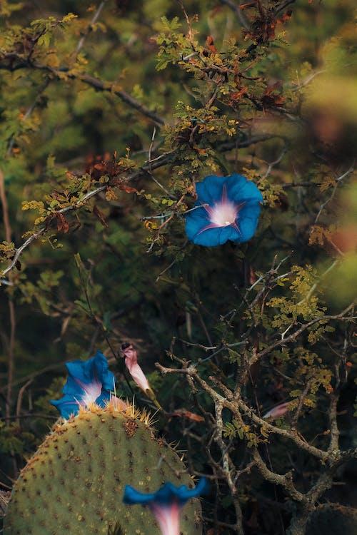 Gratis stockfoto met blauwe bloemen, bloeien, bloeiend, bloemblaadjes