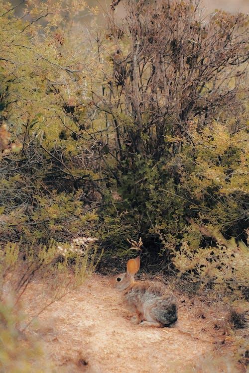cuniculus, oryctolagus, oryctolagus cuniculus, 兔子 的 免费素材照片