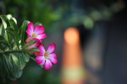 Immagine gratuita di bel fiore, canon, gras, macro