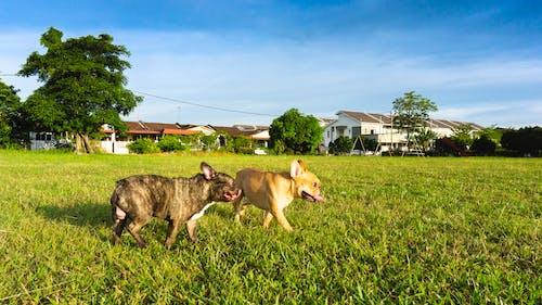 Free stock photo of animal, dog, french bulldog, garden