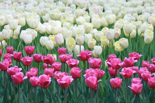 Gratis arkivbilde med årstid, blomster, blomstre, blomstret