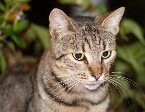Darmowe zdjęcie z galerii z głowa, język, koci, kot