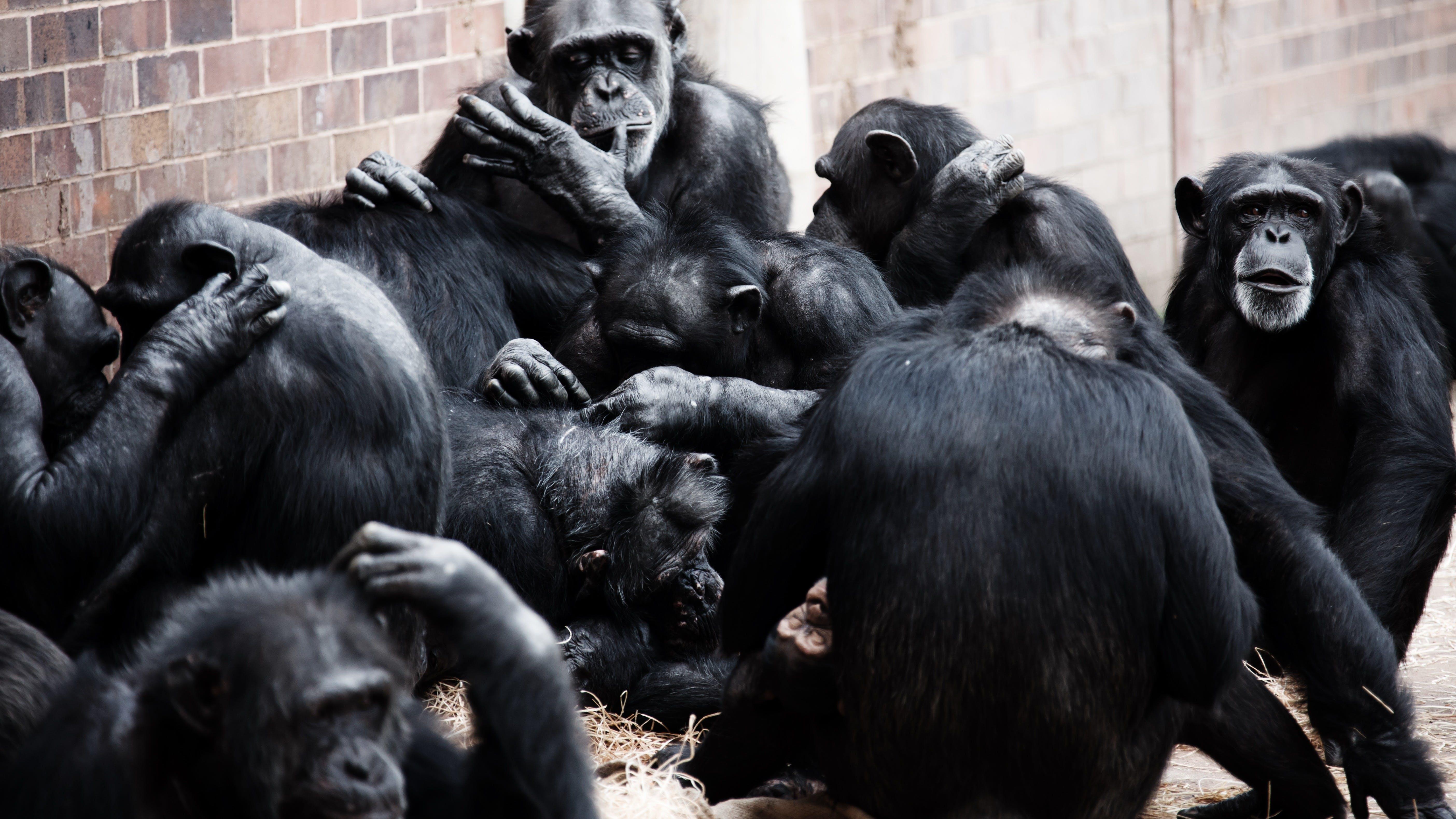 Free stock photo of animal, playing, monkeys, zoo