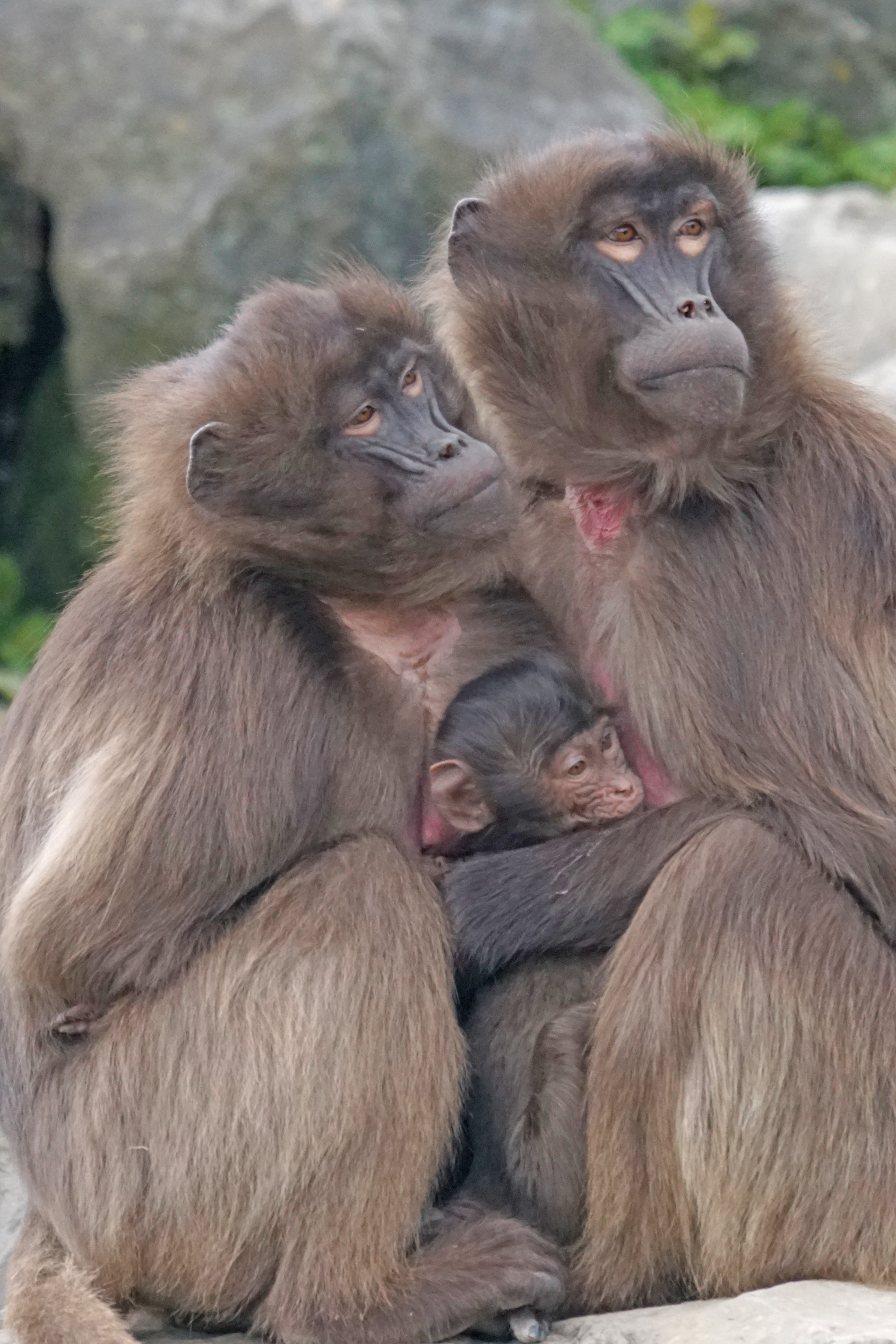 Free stock photo of young, monkey, mother, social