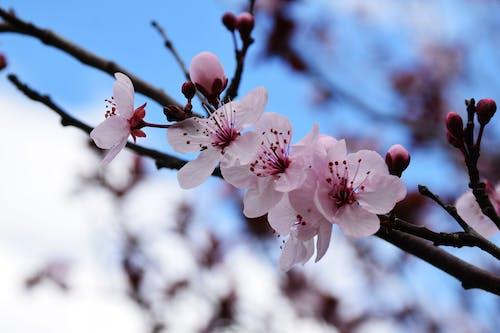 Gratis lagerfoto af blomster, lyserød, natur, pink
