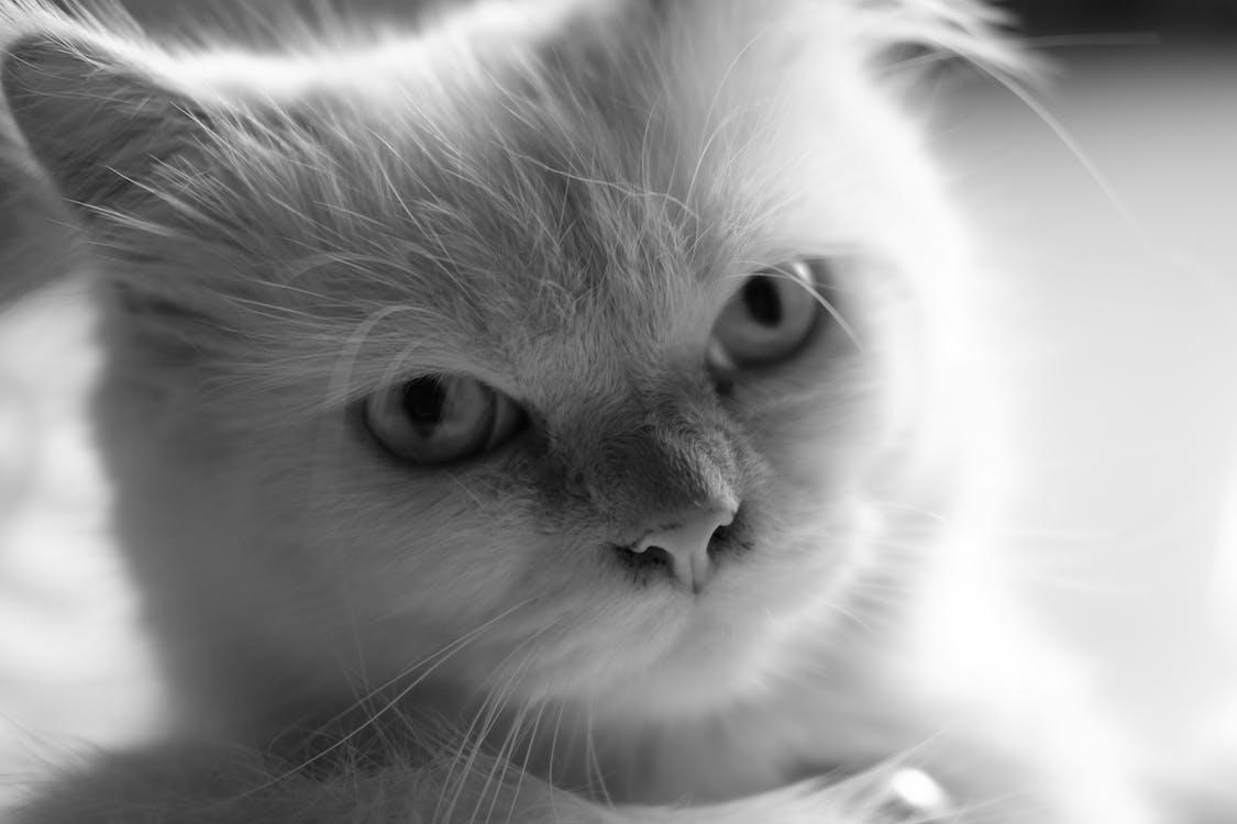 hvid, katte, sort/hvid