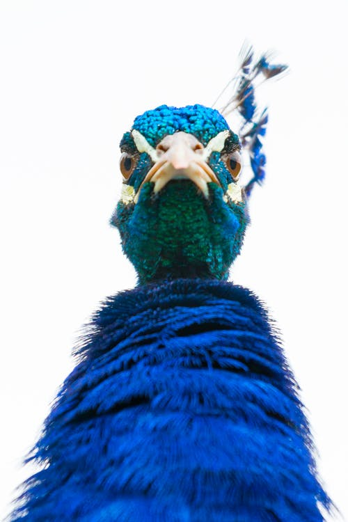 Close-Up Photo of a Blue Peacock