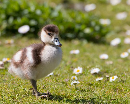 Close-Up Photo of a Duckling