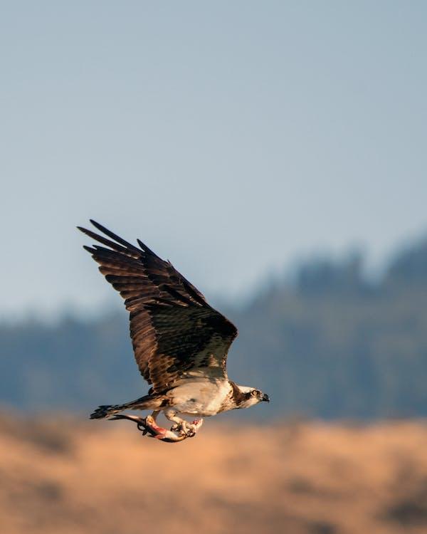 águia-pescadora, peixe, voo