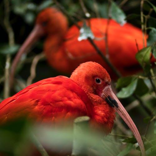 Foto profissional grátis de pássaros vermelhos, profundidade de campo
