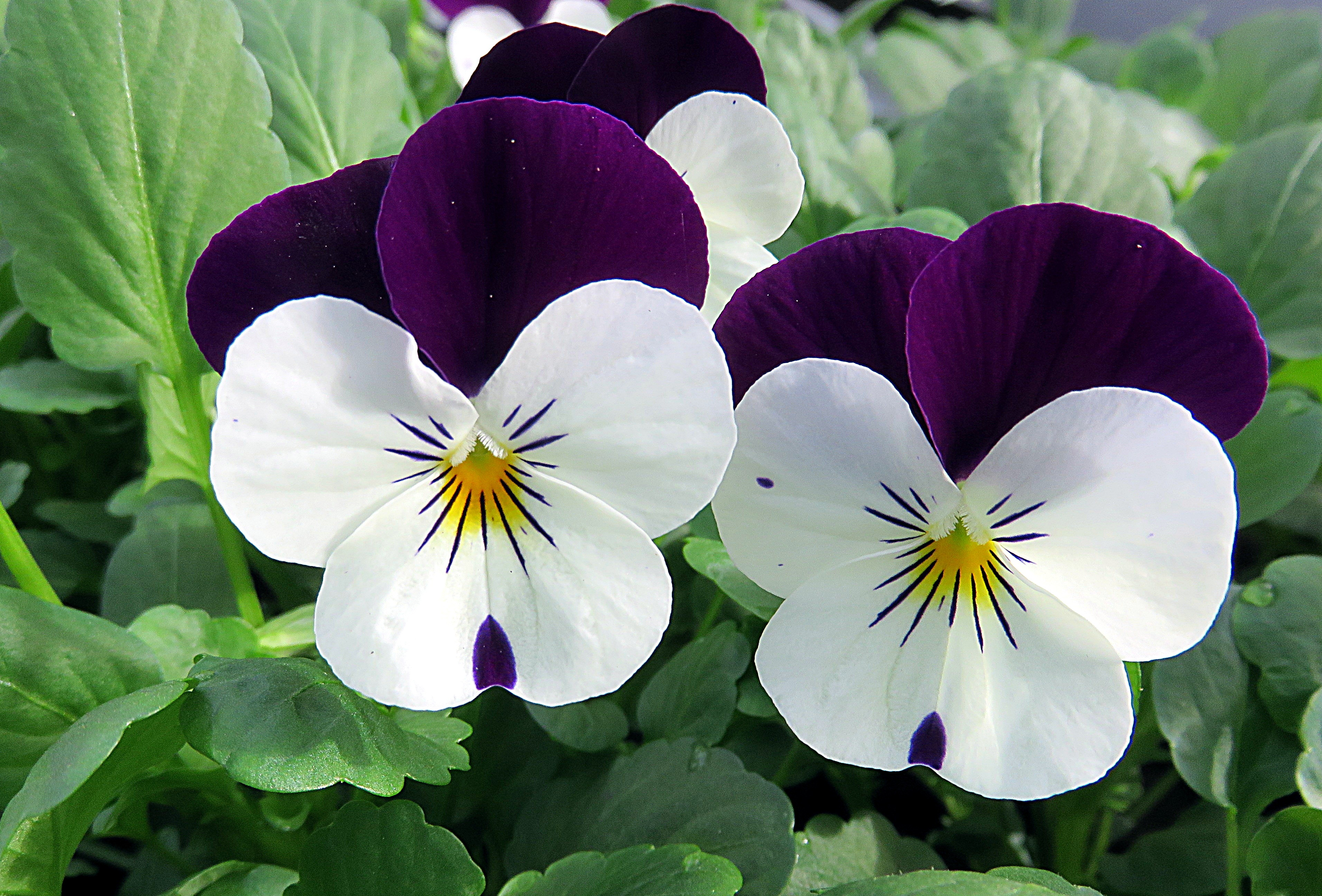 Bezplatná fotka z fotobanky na tému biela, fialka, fialová