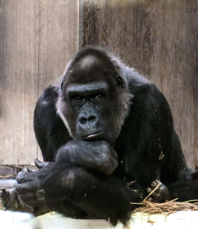 Free stock photo of zoo, black, ape, monkey