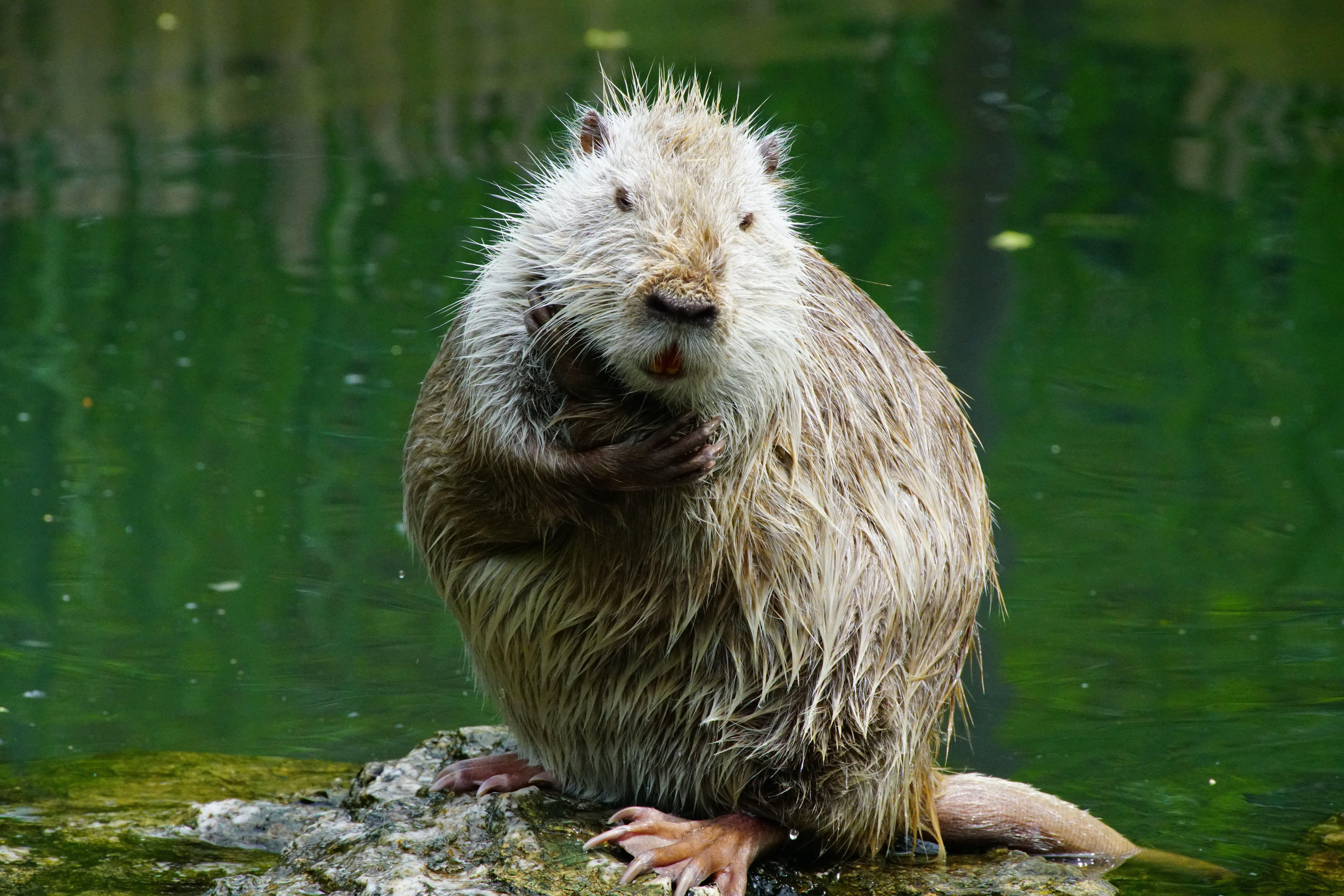 Free stock photo of after, nutria, thinks